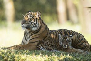 Filhotes de tigre-de-sumatra em extinção chegam a Maharajah Jungle Trek no Disney's Animal Kingdom