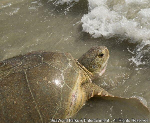 Após reabilitação, tartaruga surpreende equipe do SeaWorld