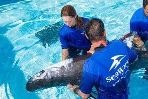 SeaWorld Orlando reabilita espécie rara de golfinho