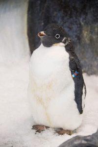 Pinguim que usou roupa de mergulho recupera penas no SeaWorld Orlando