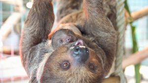 Busch Gardens Tampa Bay dá as boas-vindas a dois bebês de bicho-preguiça