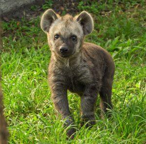 Bebê hiena nasce no Busch Gardens Tampa Bay