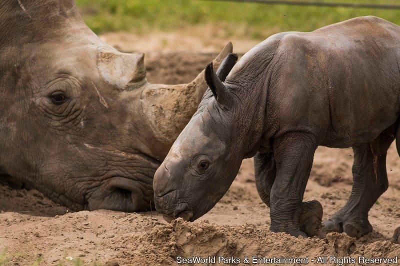 Nasce rinoceronte branco no Busch Gardens Tampa
