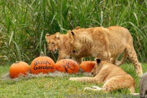 Filhotes de leão celebram halloween no Busch Gardens Tampa