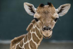 Conheça Patty, a nova bebê girafa do Busch Gardens