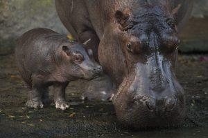 O bebê hipopótamo Augustus foi apresentado ao público na atração Kilimanjaro Safaris