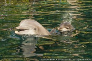 Golfinho fêmea nasce no Discovery Cove