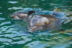Discovery Cove celebra o 30º nascimento de golfinho no parque