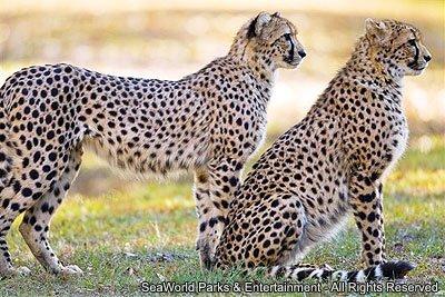 Safári do Busch Gardens conscientiza sobre o risco de extinção dos guepardos
