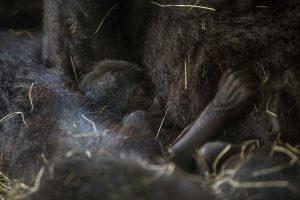 Espécie de gorila ameaçada de extinção nasce no Busch Gardens