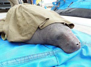 Equipe do SeaWorld ajuda a salvar dez peixes-bois encalhados na Carolina do Sul