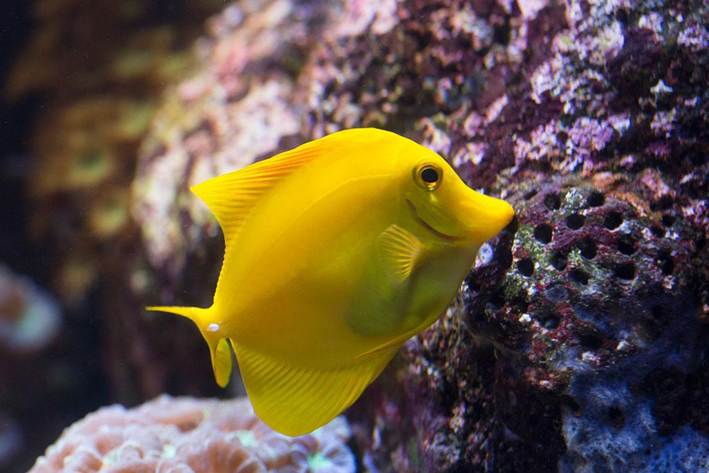 SEA LIFE Orlando Aquarium recebe um novo grupo de peixes da espécie Cirurgião-Amarelo