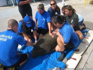 SeaWorld Orlando reabilita o 500º peixe-boi