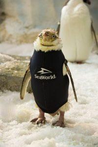 SeaWorld cria roupa de mergulho exclusiva para pinguim