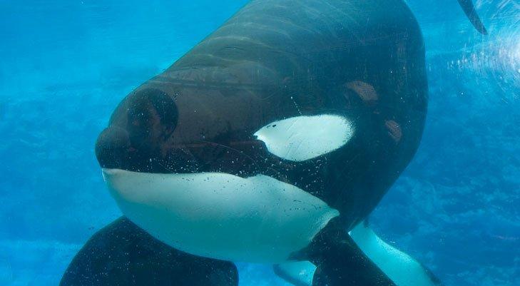 O SeaWorld anunciou o falecimento da orca Tilikum