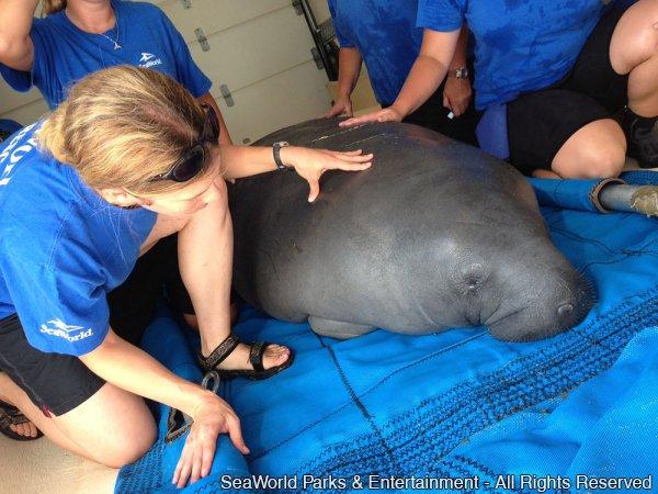 SeaWorld Orlando devolve peixe-boi à natureza após um ano de reabilitação
