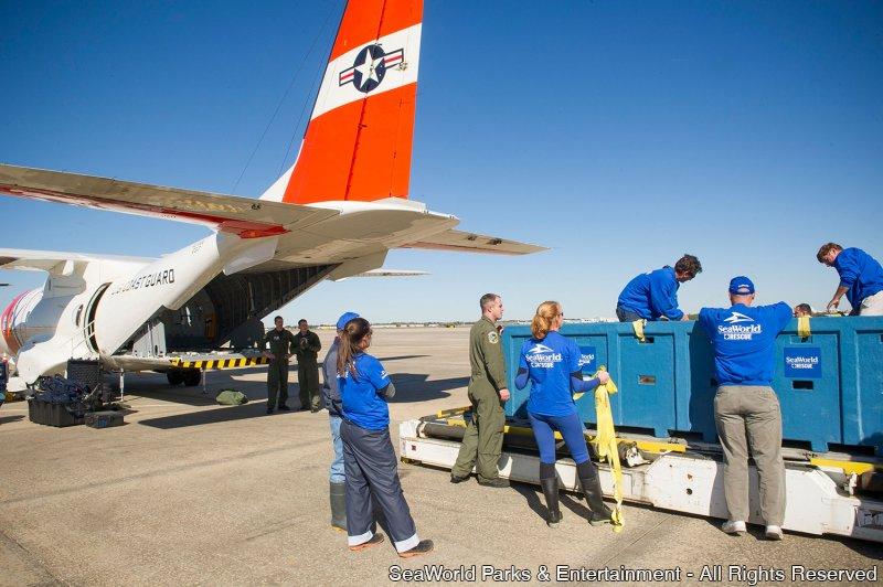 Peixe-boi reabilitado é transportado por avião da Guarda Costeira Americana