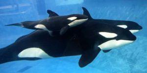 Orcas do SeaWorld vivem tanto quanto seus congêneres na natureza