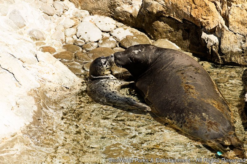 SeaWorld Orlando dá as boas-vindas ao primeiro bebê foca de 2015