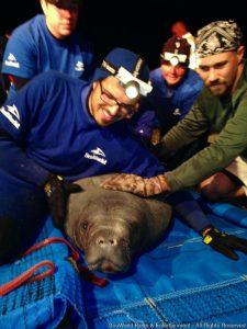 SeaWorld resgata 19 peixes-bois presos em tubo de esgoto na Flórida