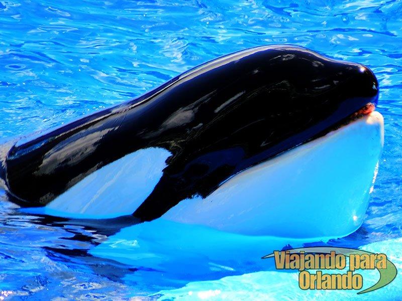 O show da baleia Shamu – One Ocean – entra em manutenção no início do próximo ano