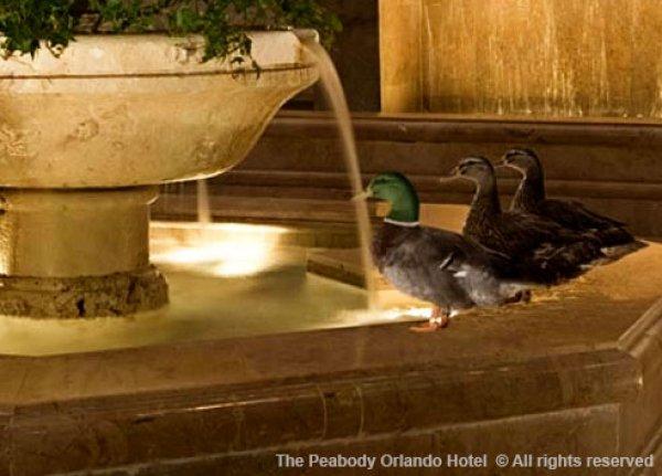 """The Peabody Orlando não irá mais apresentar """"marcha dos patos"""""""