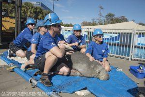 SeaWorld Orlando recebe primeiro peixe-boi resgatado do ano