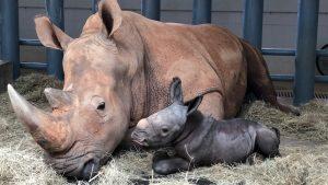 Rinoceronte dá à luz no parque Disney Animal Kingdom
