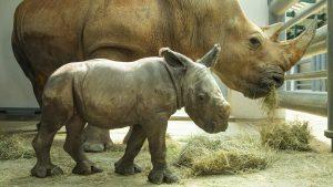 Conheça o filhote de rinoceronte branco que nasceu no Disney's Animal Kingdom