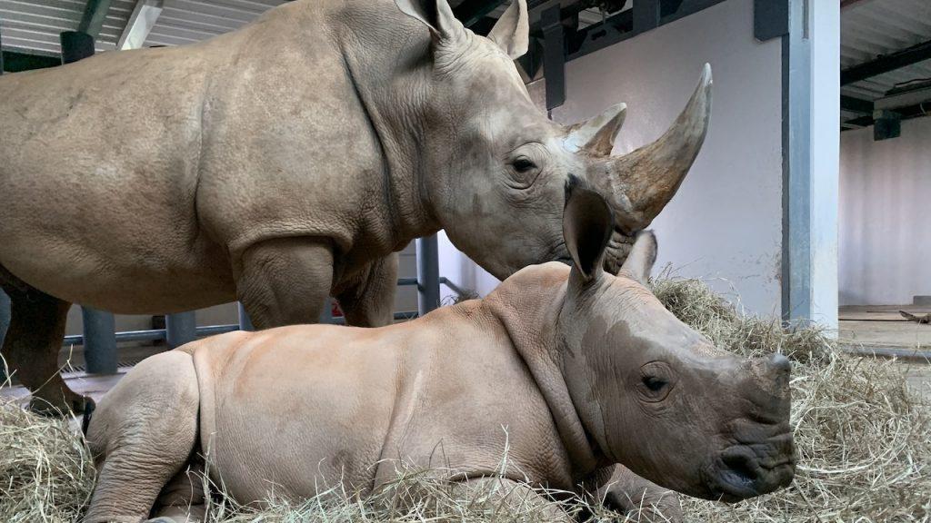 Rhino mom Kendi and baby boy Ranger at Disney's Animal Kingdom